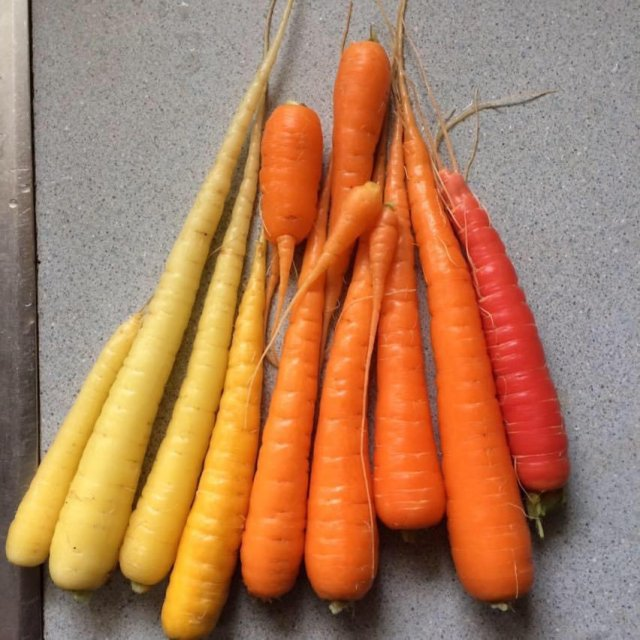 A close-up image of some of the carrots Peggy Slipp harvested from her garden. The carrots are arranged from light yellow on the left, to dark orange on the right.