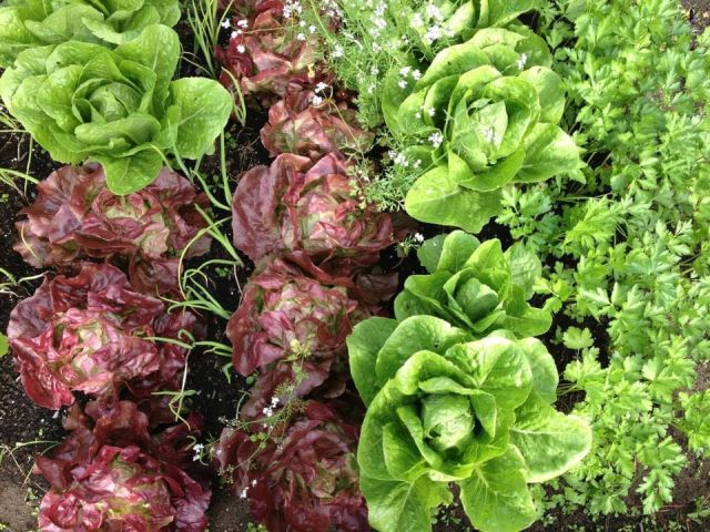 A close up image of some of Peggy Slipp's lettuces. From left to right, there are purple lettuces and green lettuces.
