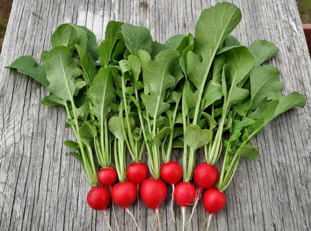 Two neatly organized rows of radishes laid out on a wooden table, with the red parts at the bottom and the greens pointing up.